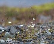 Hoch spezialisierte Pflanzen, wie hier das weiße Sumpfherzblatt, erobern die vom Eis freigegebenen Flächen