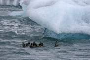 Entenschwarm im Eiswasser des Jökulsarlon