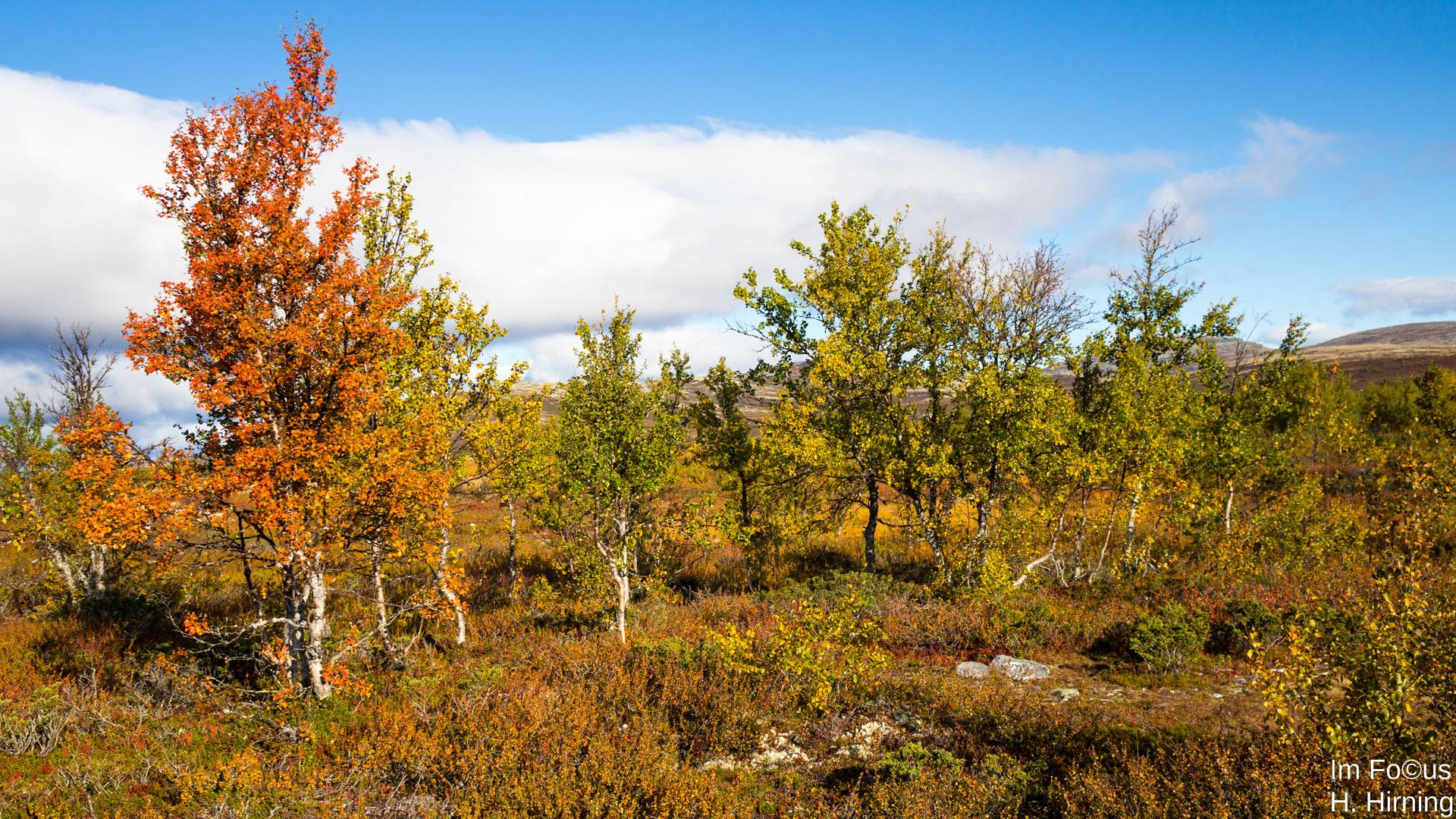 Birken, Rondane Nationalpark
